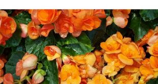 30 Different Types of Orange Flowers (A-Z)