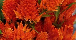 Belíssimas Celosias argentea alaranjadas. Fotografia: lovenfreshflowers....