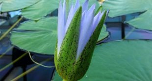 Blue Egyptian Lotus-Nymphaea c.-fragrant lotus flower also cultivated in ancient...