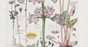 Cyclamen, Water Violet, USD $45 Wild Flowers of the British Isles by Harriet Isa...