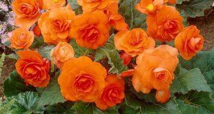 Double Orange Begonia