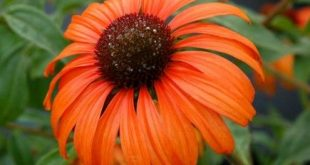 Echinacea 'Tangerine Dream': Everything a great garden plant should be. ...
