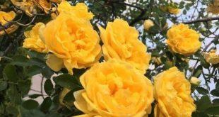 Gelbe ästhetische Rosen Rose Blumen Blume schöne... - #ästhetische #Blume #Bl...