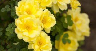 'Harrison's Yellow' | Hybrid Foetida, Hybrid Spinosissima, Shrub. George F...