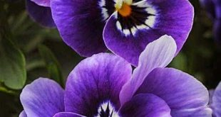 I bought a flat of pansies this spring, and had a couple volunteers from last ye...