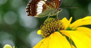 アサマイチモンジ   (Limenitis glorifica)