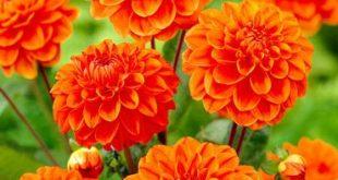 Orange Nugget Border Dahlia