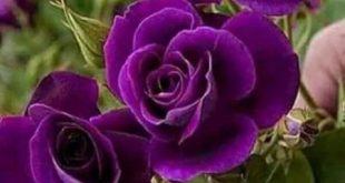 Purple Roses 17