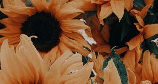 Sunflower; Flower; Plant; Sunflower Photography;Sunflower Inspiration; Sunflower