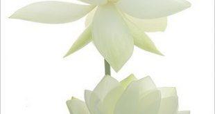 Two White Lotus Flowers IMG_6641-1000