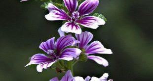Unknown Flower #2 ITs Malva