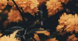gelbe Blumen Natur Hintergrund iPhone - #